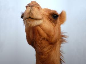 CamelsAreCool's avatar.