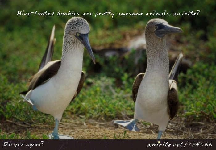 Blue-footed boobies are pretty awesome animals, <strong>amirite?</strong>