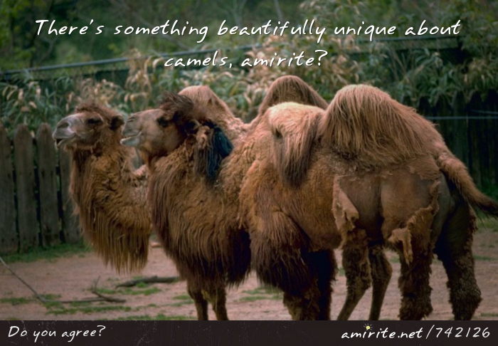 There's something beautifully unique about camels, <strong>amirite?</strong>