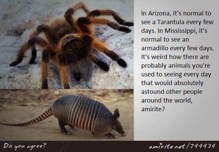 In Arizona, it's normal to see a Tarantula every few days. In Mississippi, it's normal to see an armadillo every few days. It's weird how there are probably animals you're used to seeing every day that would absolutely astound other people around the world, <strong>amirite?</strong>