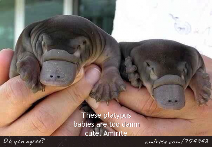 Baby platypuses are toodamn cute.