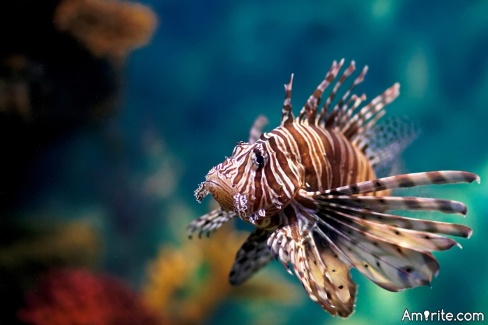 The Lionfish vs. Mankind...who does more damage?