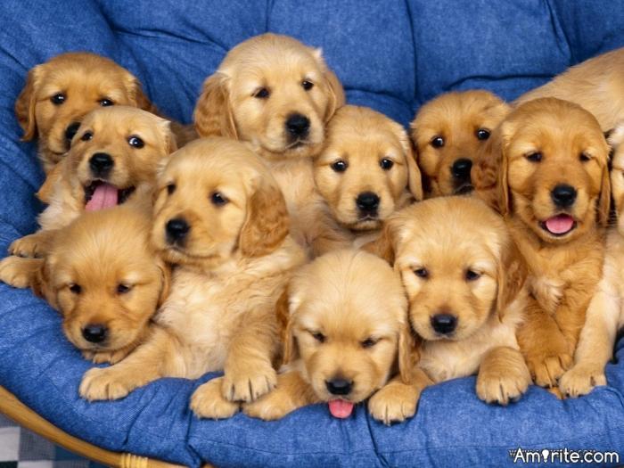 Do you think Golden Retrievers are cute?