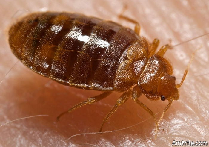 Have you ever dealt with bedbugs?