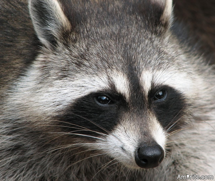 How many raccoons can you make love to inside an ice cream van?
