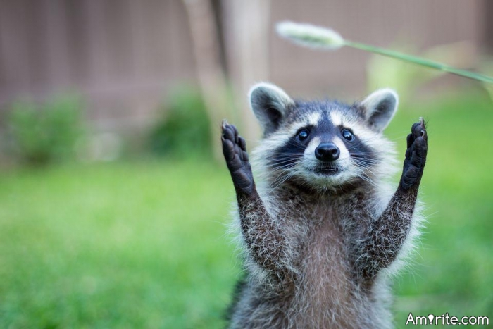 Can you train a raccoon to be your pet? This time, this is both a bit weird and a serious question. I'm baffled by them.