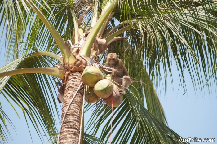 Would you grow coconuts inside a space station? The monkeys might get in the way.