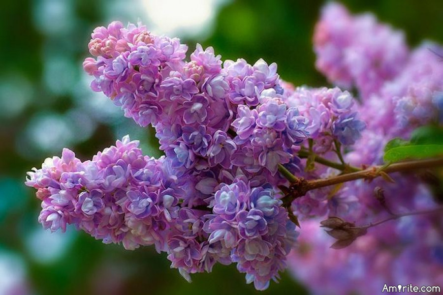 The lilacs are starting to bloom!!