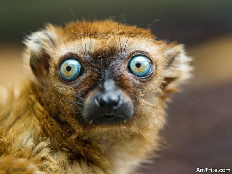 Why do dogs have their own whistles, but lemurs don't?
