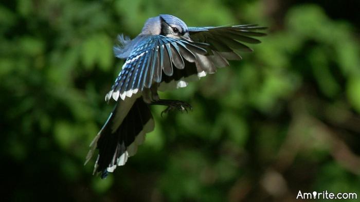 Do you see the Blue Jay's fly now Spring is here ?