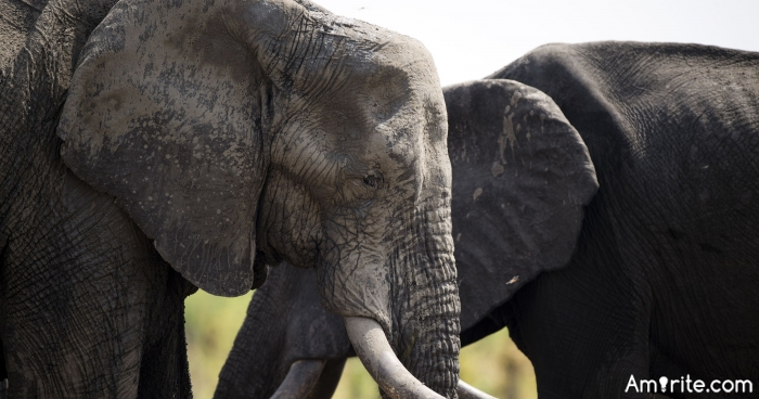 Renowned Big Game Hunter Crushed to Death by Dying Elephant. Justice?