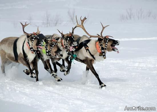 Should reindeer be allowed to vote?
