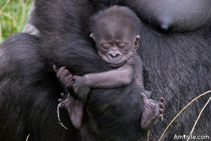 Wearing pants is so old-fashioned... Let's wear baby gorillas instead.