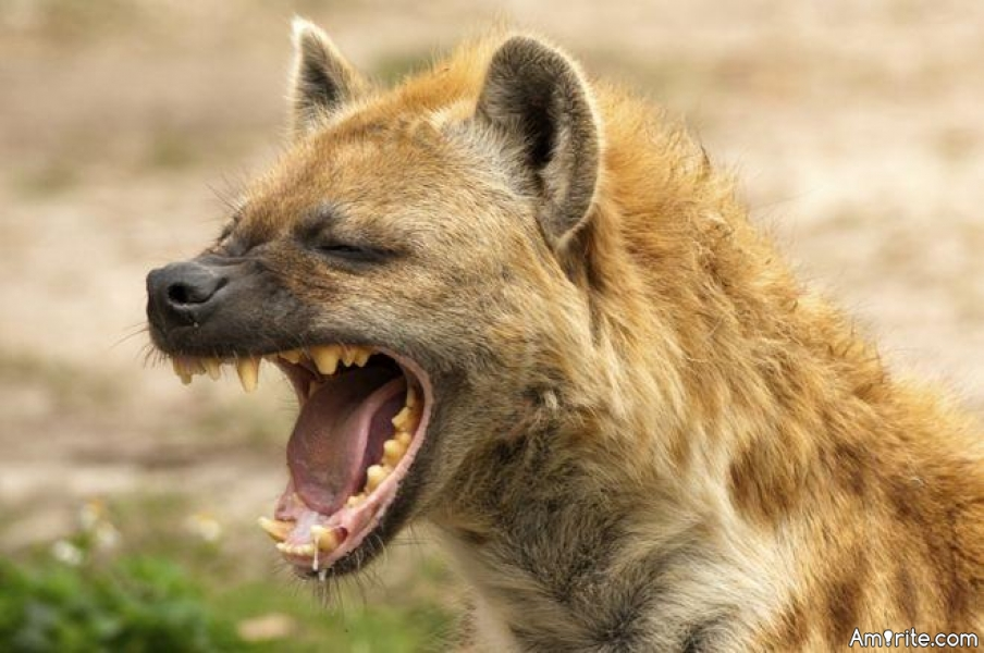 Do you have a pet hyena, like most of the normal people do?