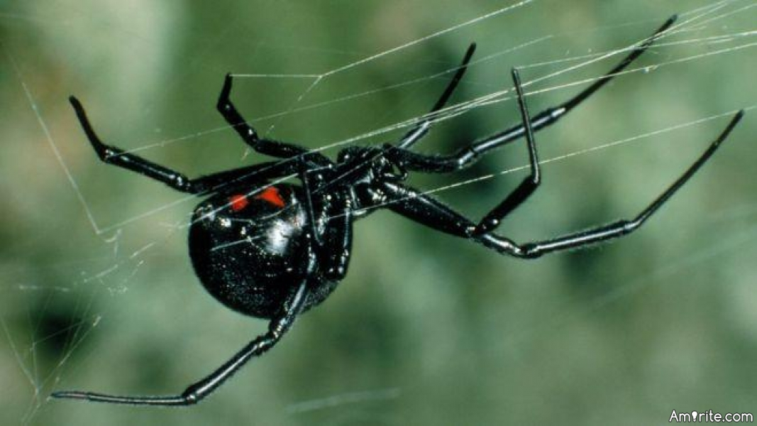 Ever tried peppermint oil to repel Black Widows?