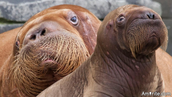 Are you constantly keeping track of the movements of individual walruses?