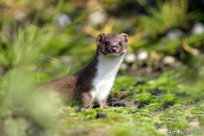 Have you ever put a weasel inside your pants?