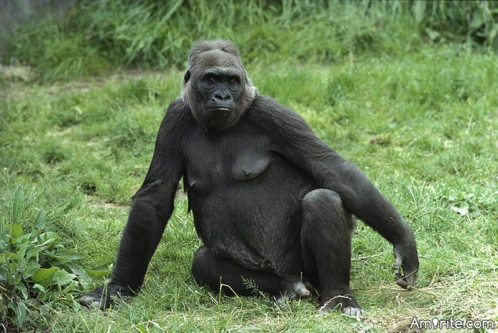 Having a baby with a gorilla is not something that human males usually do.