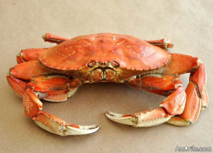 Aw, Dungeness crab season is open here now. Sweetest crab meat ever. Do you like to eat crab? I love it!