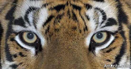 Tigers are going to cut you in half.