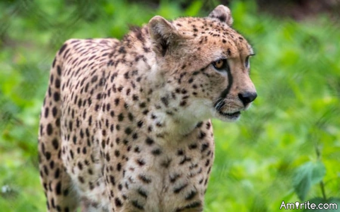 Here's how to escape from a Cheetah