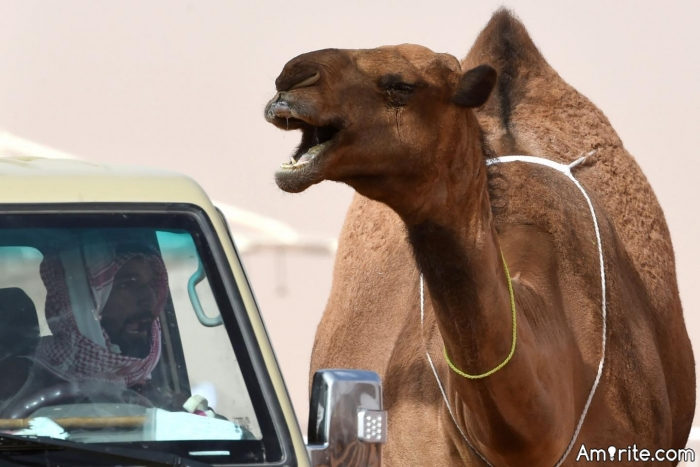 What is this camel saying?