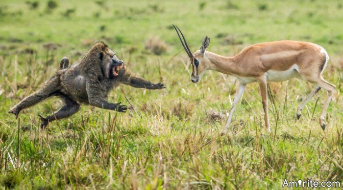 Baboons vs Gazelles. Should we convert the fights into PPV cage fighting events?