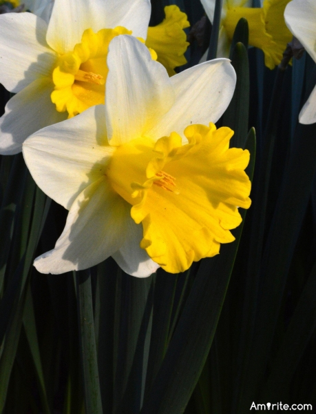 Have you ever lost contact with your daffodil?